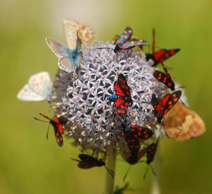 Pure-Mariposa-Ramon-Monegal-Butterflies-WikiMedia
